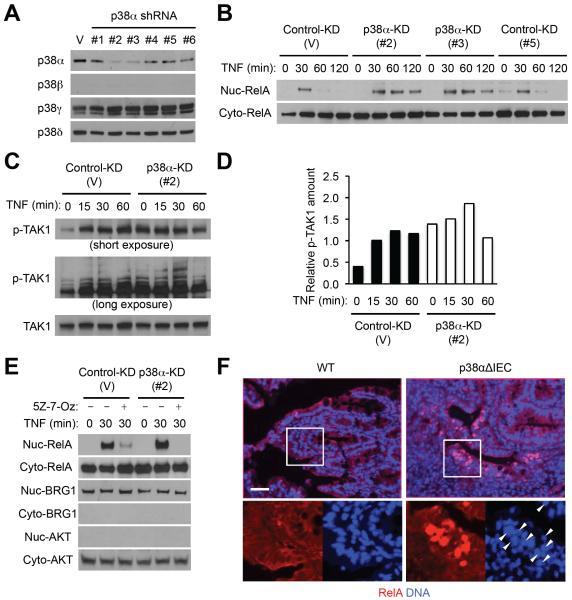 p38 MAPK beta Antibody