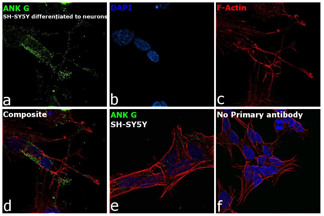 Ankyrin G Antibody in Immunocytochemistry (ICC/IF)