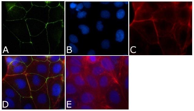 ZO-1 Antibody in Immunofluorescence (IF)