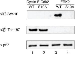 Phospho-p27 Kip1 (Ser10) Antibody in Western Blot (WB)
