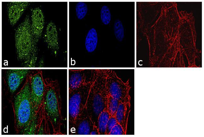 Securin Antibody in Immunofluorescence (IF)