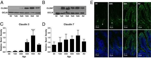 Claudin 3 Antibody