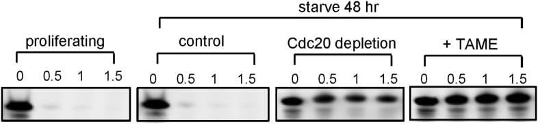FZR1 Antibody