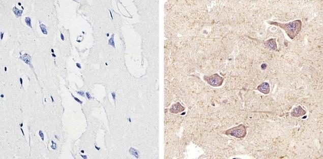 Connexin 29 Antibody in Immunohistochemistry (Paraffin) (IHC (P))