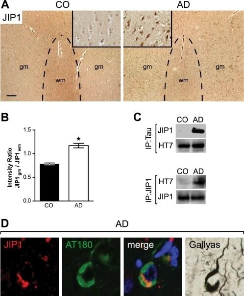 JIP1 Antibody