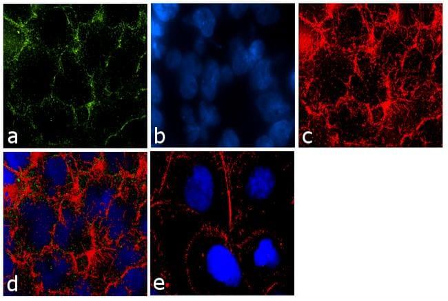 Claudin 16 Antibody in Immunofluorescence (IF)