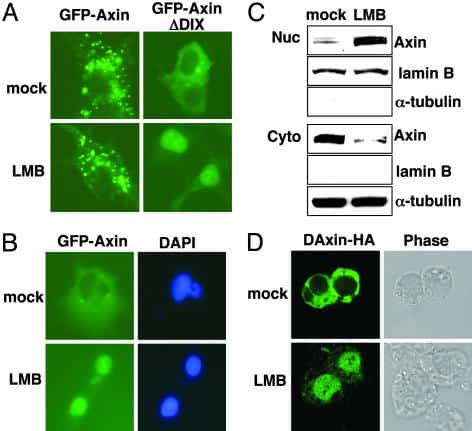 AXIN1 Antibody