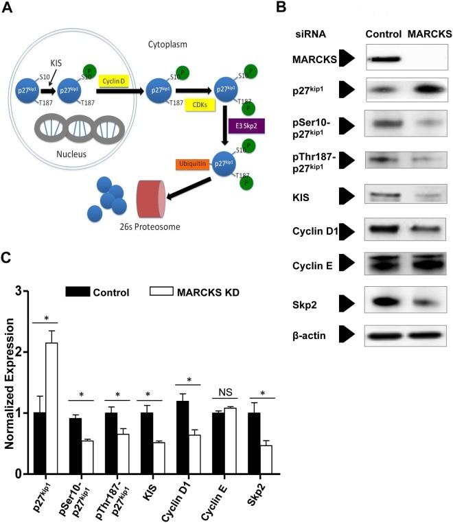 Phospho-p27 Kip1 (Ser10) Antibody
