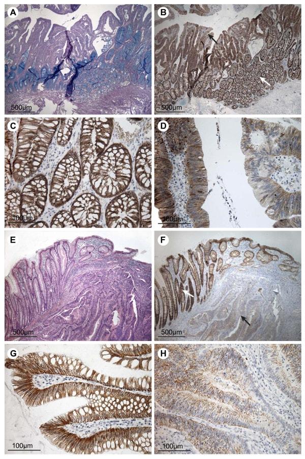 Claudin 7 Antibody