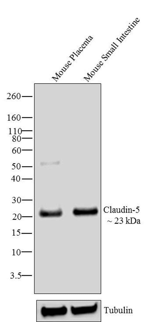Claudin 5 Antibody in Western Blot (WB)