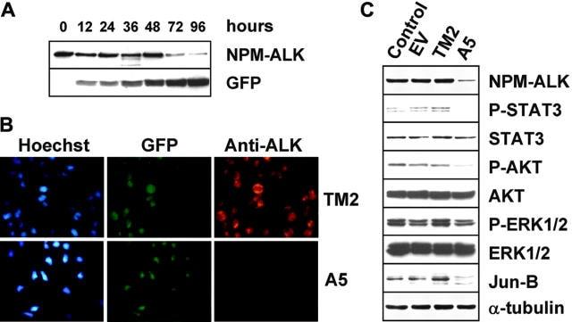 ALK Antibody