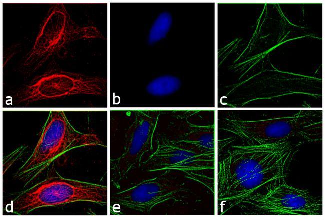 Mouse IgG (H+L) Secondary Antibody in Immunofluorescence (IF)