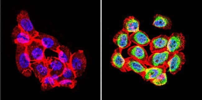 Rabbit IgG (H+L) Secondary Antibody in Immunofluorescence (IF)