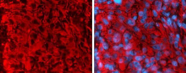 Rabbit IgG (H+L) Secondary Antibody in Immunohistochemistry (Frozen) (IHC (F))