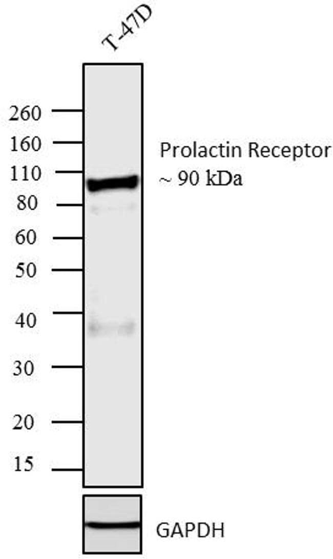 Prolactin Receptor Antibody in Western Blot (WB)