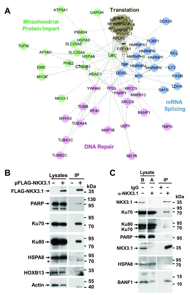 Nkx3.1 Antibody