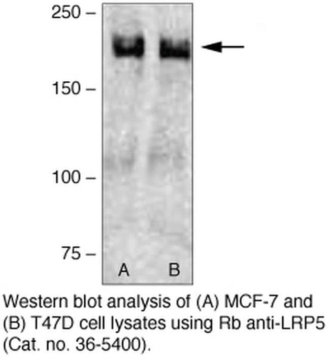 LRP5 Antibody in Western Blot (WB)