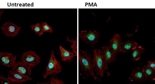 Phospho-ERK1/ERK2 (Thr202, Tyr204) Antibody in Immunofluorescence (IF)