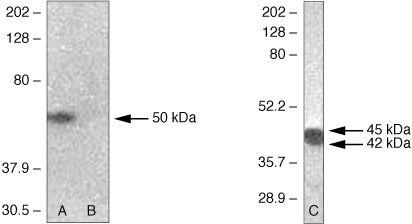 Phospho-PAX2 (Ser393) Antibody in Western Blot (WB)