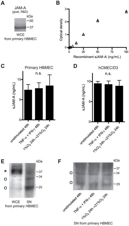 JAM-A (CD321) Antibody