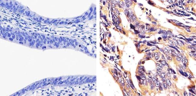 JAM-A (CD321) Antibody in Immunohistochemistry (Paraffin) (IHC (P))