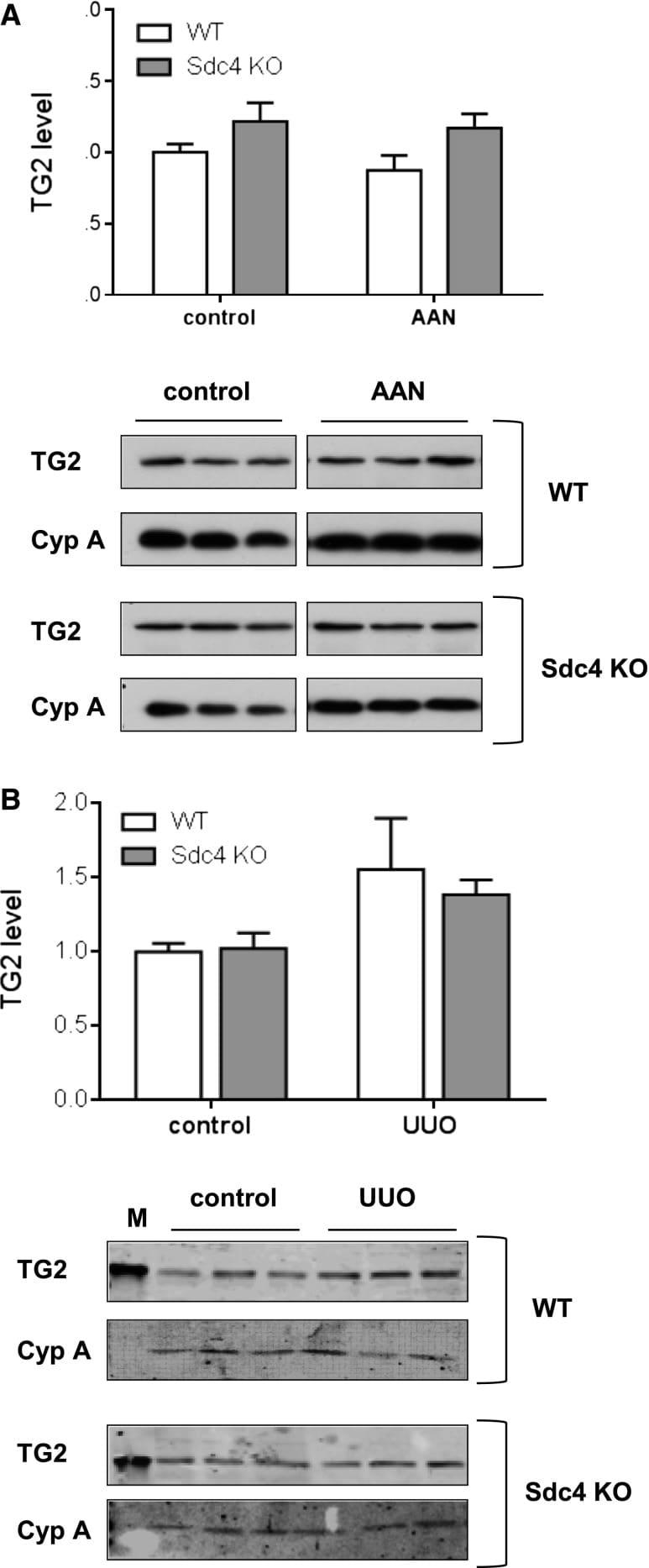 Syndecan 4 Antibody in Western Blot (WB)