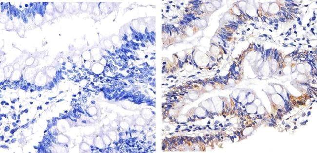 Syndecan 4 Antibody in Immunohistochemistry (Paraffin) (IHC (P))