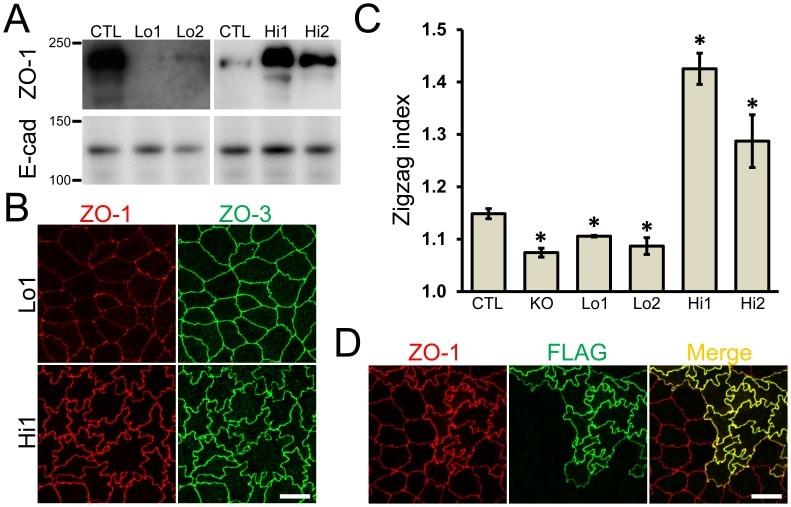 ZO-3 Antibody