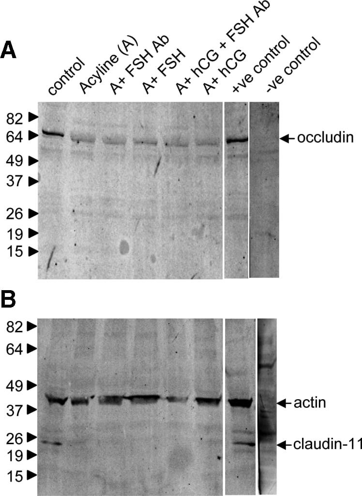Claudin 11 Antibody