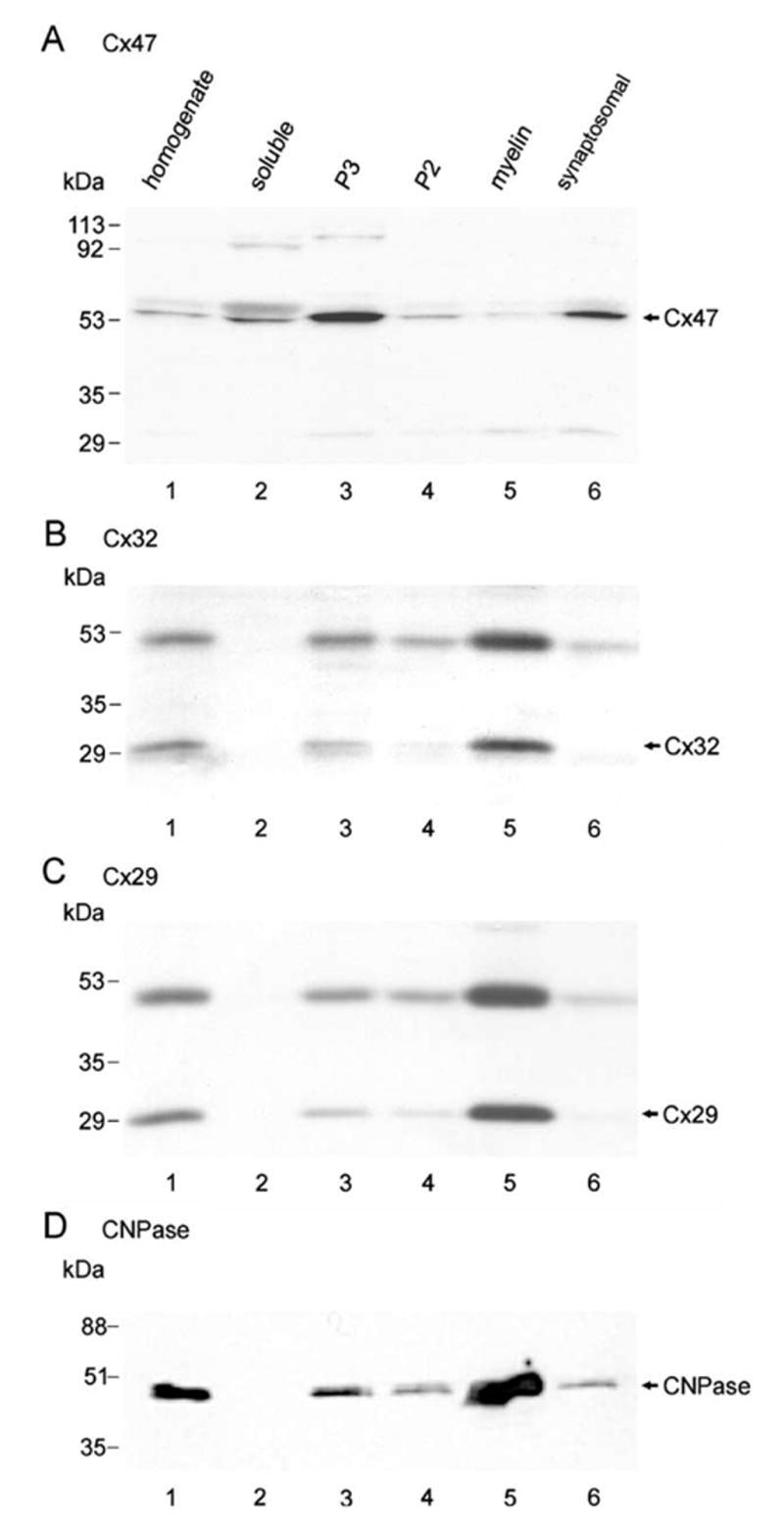 Connexin 47 Antibody
