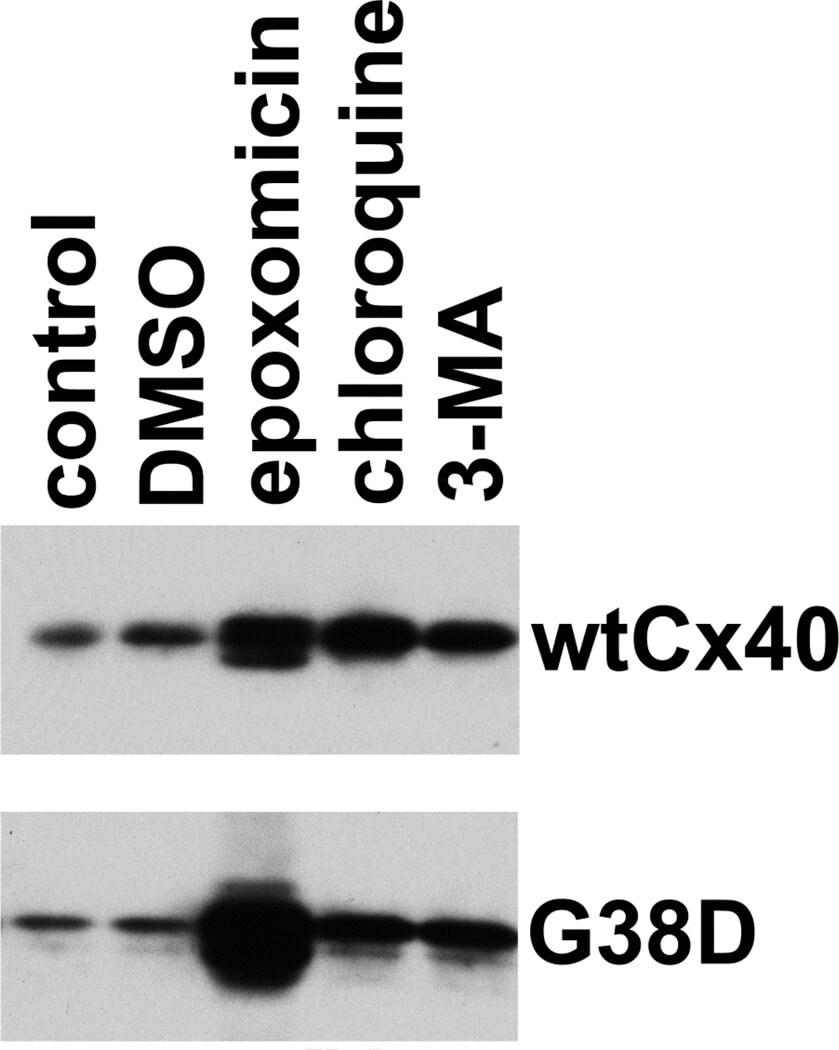 Connexin 40 Antibody