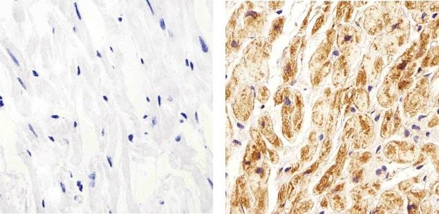 Connexin 40 Antibody in Immunohistochemistry (Paraffin) (IHC (P))
