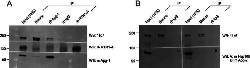 Nogo-A Antibody