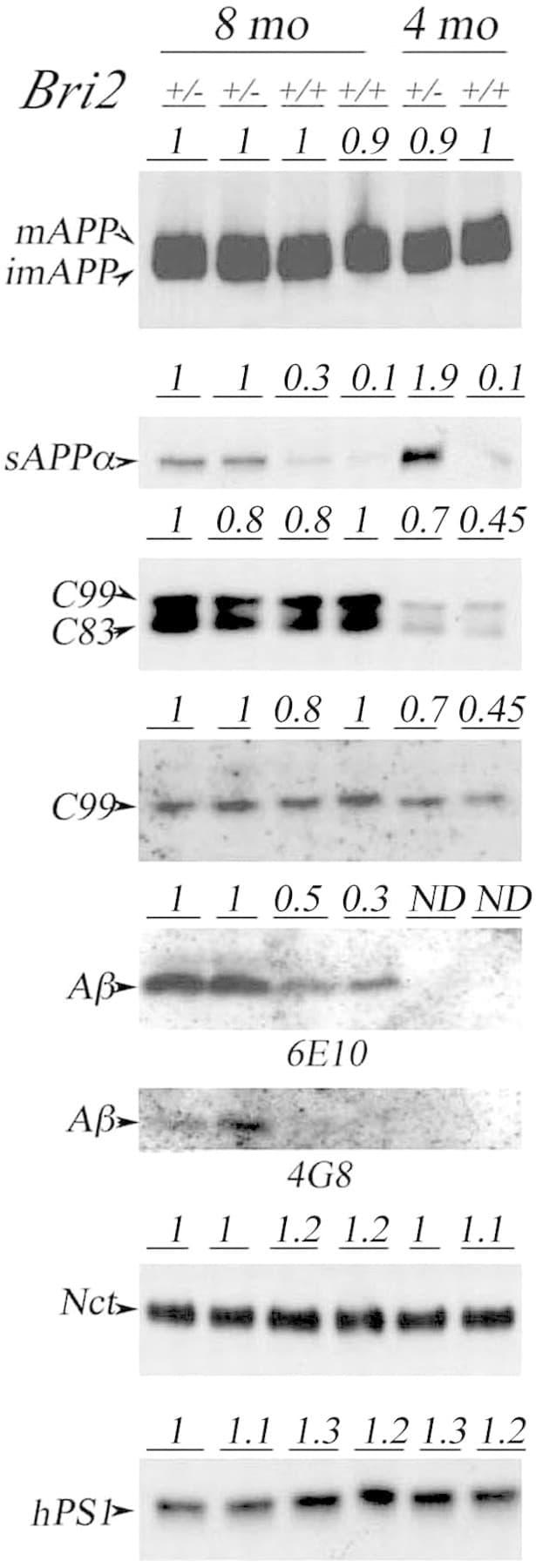 beta Amyloid Antibody