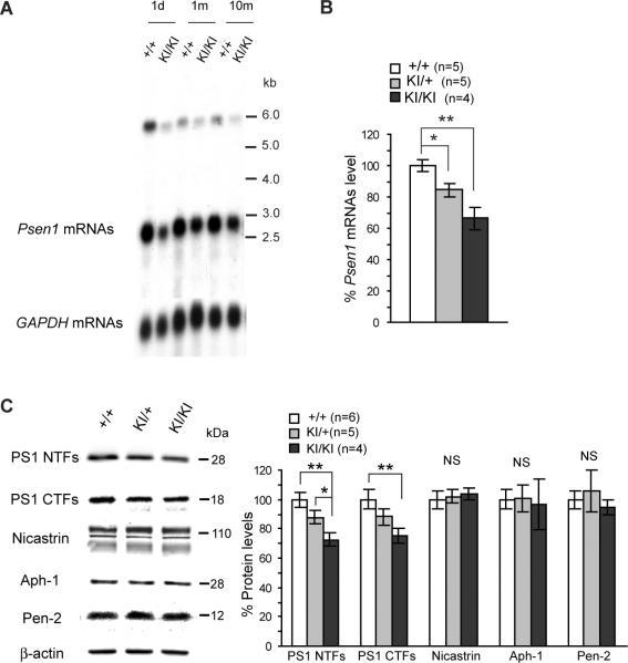 APH1 Antibody
