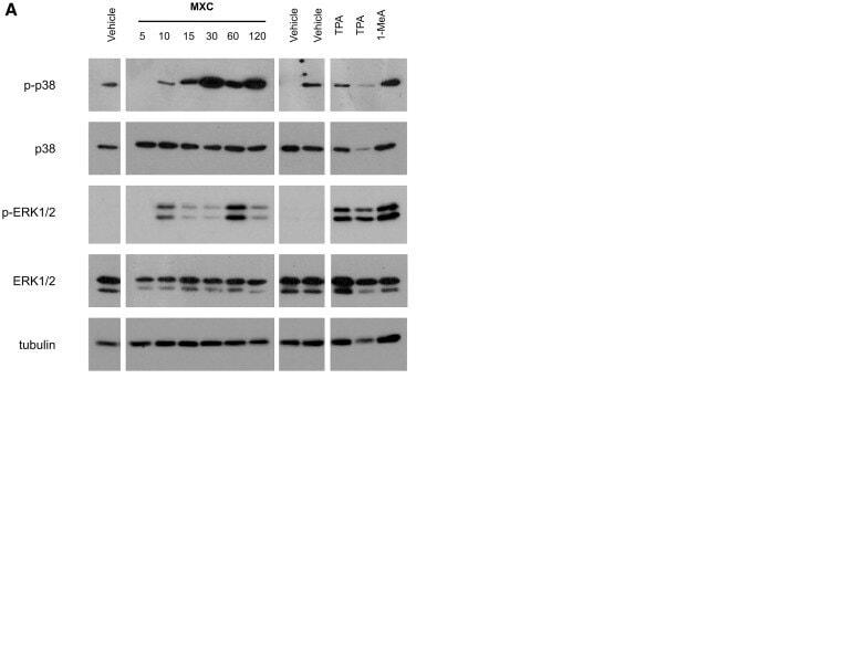 Phospho-p38 MAPK alpha (Thr180, Tyr182) Antibody