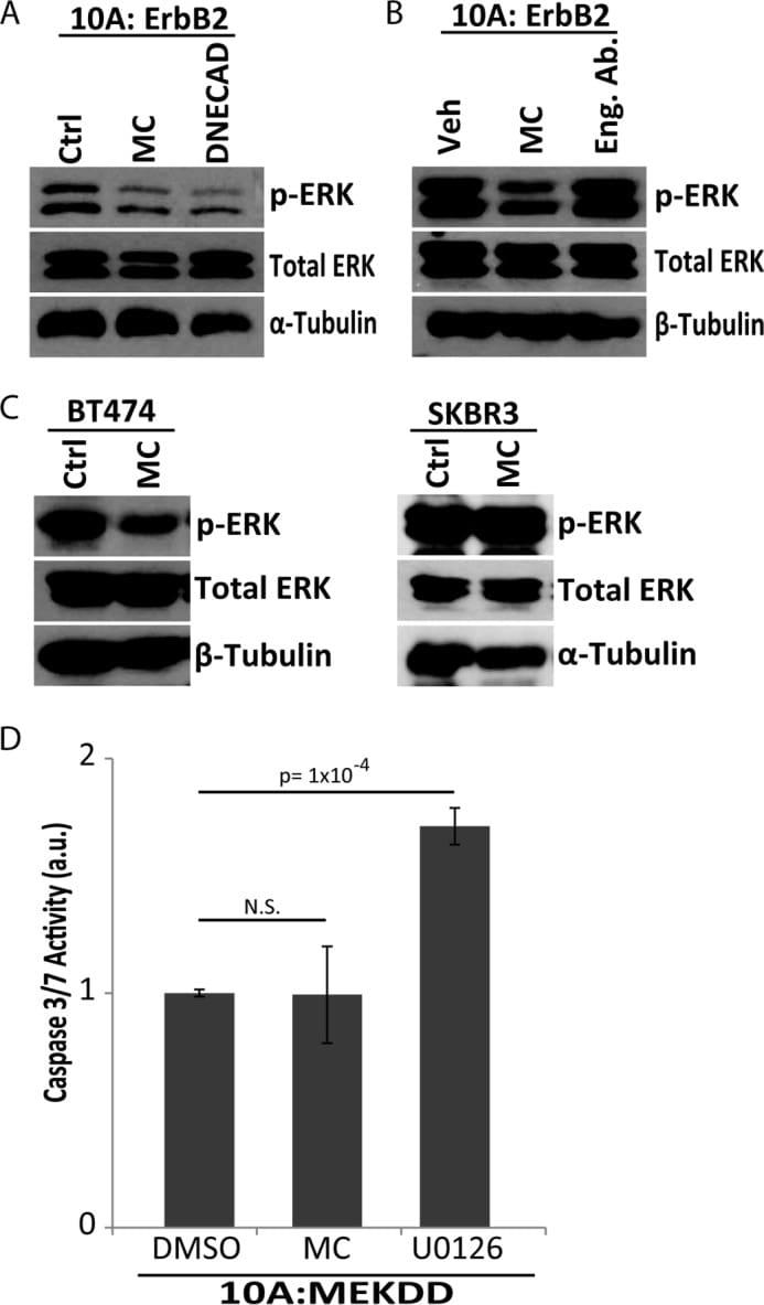 Phospho-ERK1/ERK2 (Thr202, Tyr204) Antibody