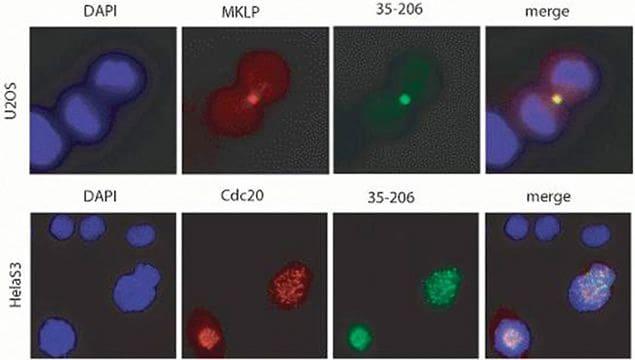 PLK1 Antibody in Immunofluorescence (IF)