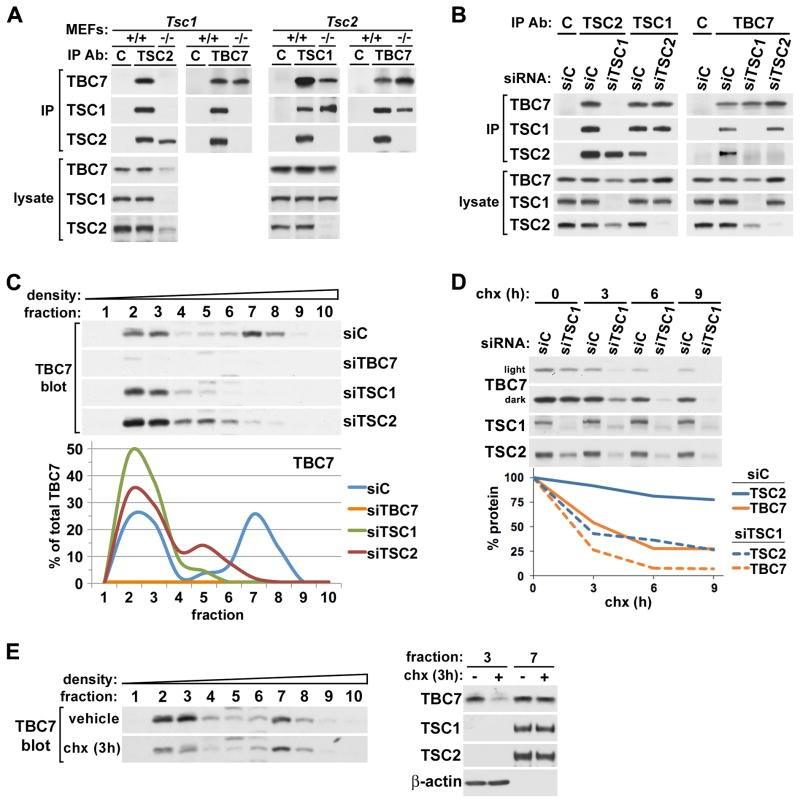 TSC2 Antibody