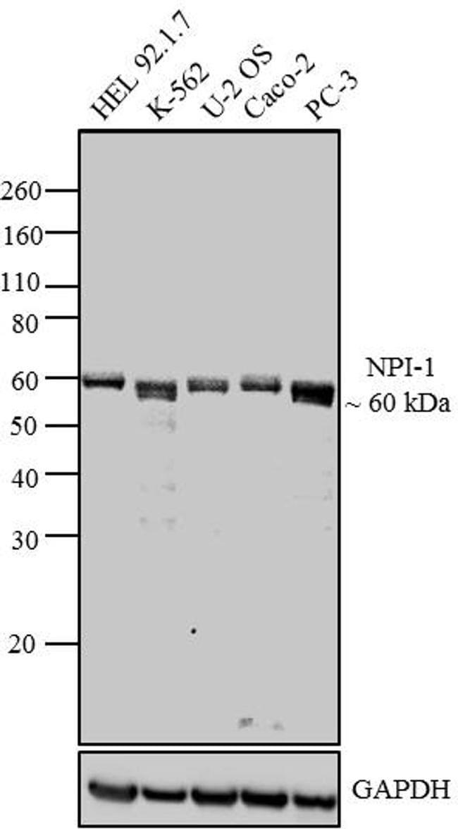 KPNA1 Antibody in Western Blot (WB)
