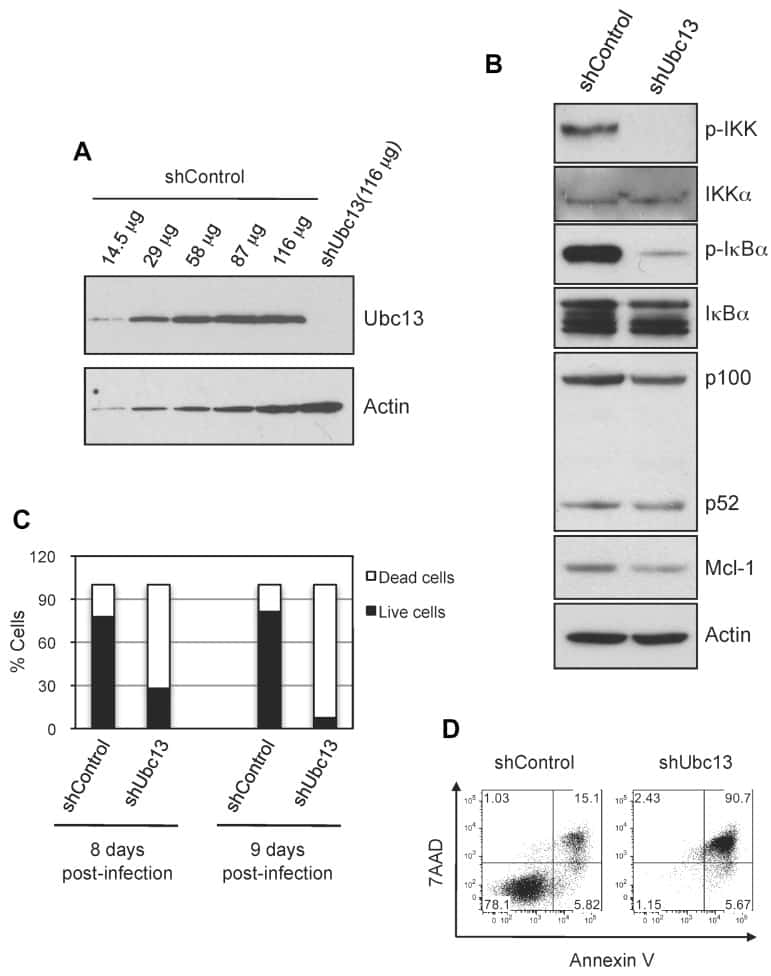 UBC13 Antibody