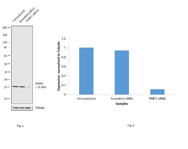 PEBP1 Antibody in Western Blot (WB)