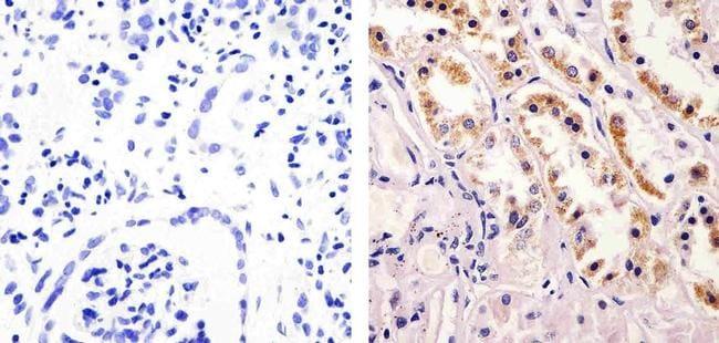 nNOS Antibody in Immunohistochemistry (Paraffin) (IHC (P))