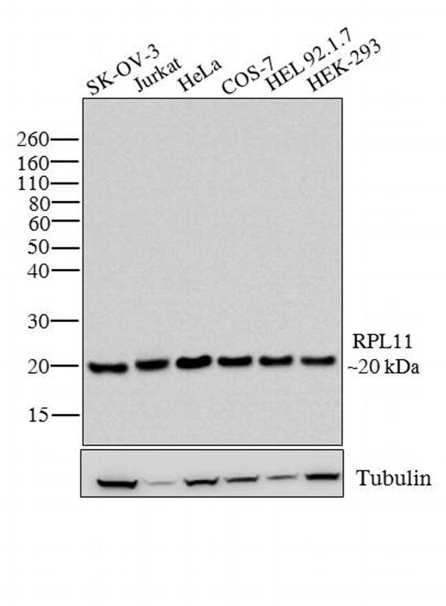 RPL11 Antibody in Western Blot (WB)