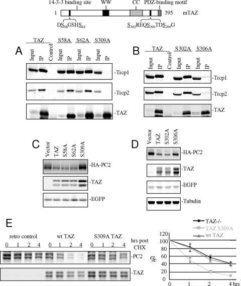BTRC Antibody