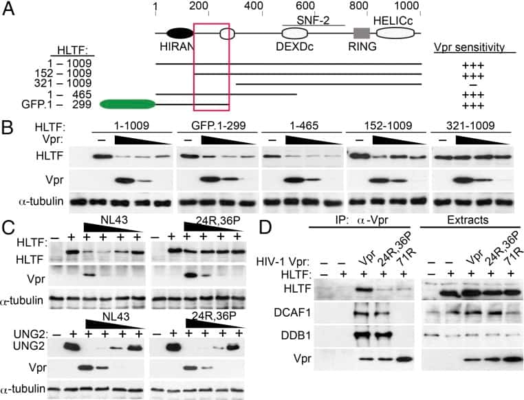 DDB1 Antibody