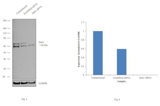 Ubiquilin 2 Antibody in KnockDown