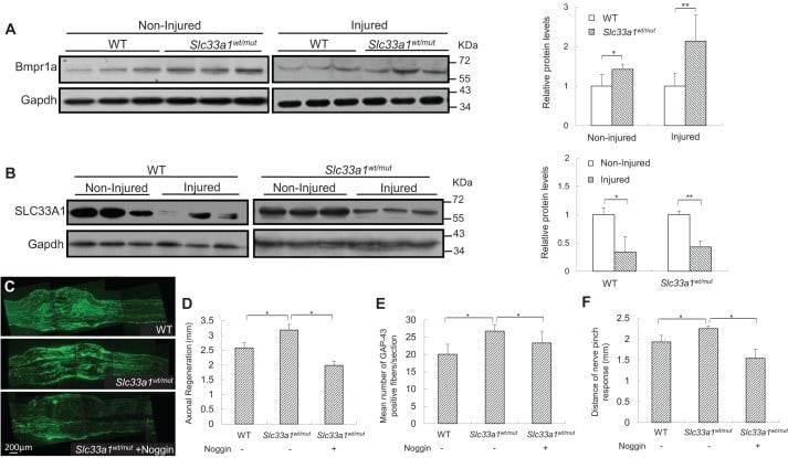 BMPR1A Antibody in Western Blot (WB)