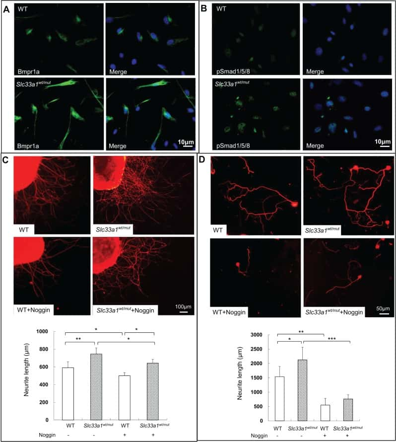 BMPR1A Antibody
