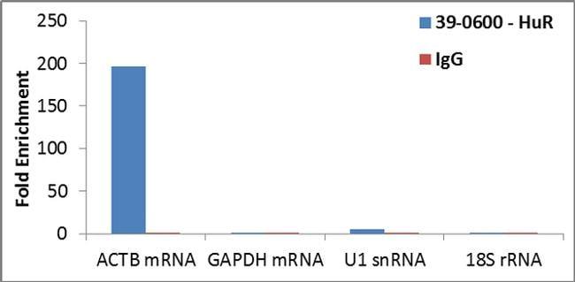 HuR Antibody in RNA Immunoprecipitation (RIP)